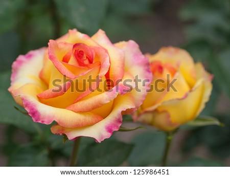 Some orange yellow roses in the garden - stock photo
