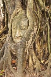 Some part of Buddha Statue in Root of Tree in  Wat Phra Si Rattana Mahathat Temple, Ayutthaya  Thailand