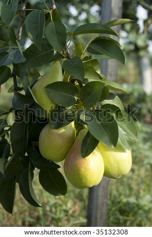 some pears in the tree in morning sun