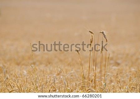 Some rye stems in a wheat field