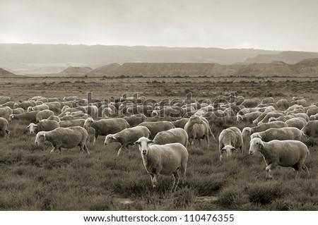 Some sheep grazing at Bardenas desert, sepia toned