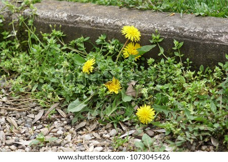Some weeds growing on a courtyard (dandelion and grass) #1073045426