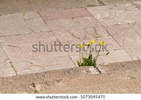 Some weeds growing on a courtyard (dandelion and grass) #1073045471