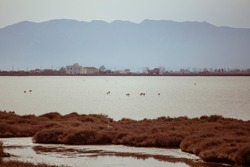 Some wild flamingos resting on a water lake on a brown dusk landscape in Delta de l'Ebre, Catalonia