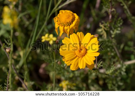 Some yellow camomile isolated on green background