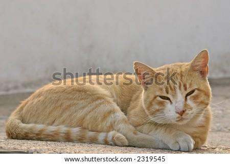 Kucni ljubimci Stock-photo-some-yellow-cat-trying-to-sleep-on-the-road-2319545