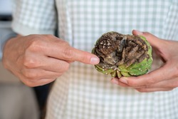 Someone hand holding rotting Echinopsis cristata cactus. Cactus rot is one of the main causes of cactus death from fungal and bacterial diseases attack.