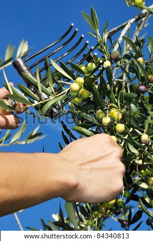 someone harvesting olives in an olive grove in Spain