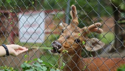Someone's hand feeding chital or deer that in the enclosure at zoo or animal rehabilitation
