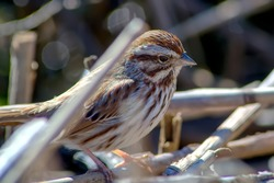 Song sparrow foraging in reed stalks