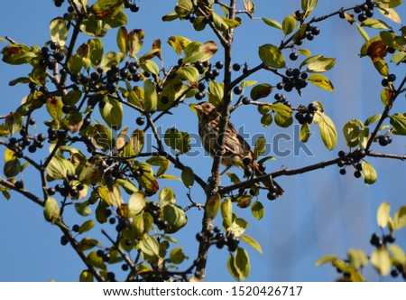 Song Sparrow perched in a bush