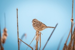 Song sparrow perched on reed in front of a blue lake