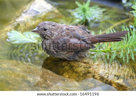 song sparrow taking a bath in a garden pond