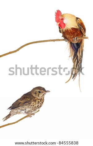 song thrush and brown cock on a white background