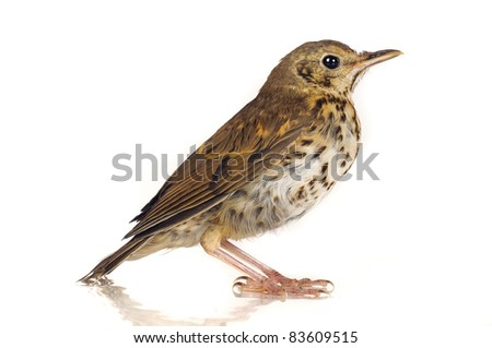 song thrush  on a white background