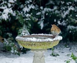 Song Thrush on bird bath in snow