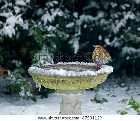 Song Thrush on bird bath in snow