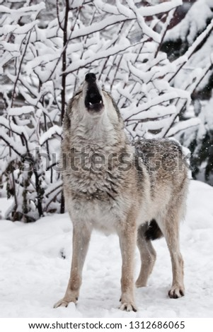 Song wolf full face view. A wolf (female wolf) howls (howling, screaming) lifting its muzzle upwards and opening its mouth in a winter snow-covered forest,