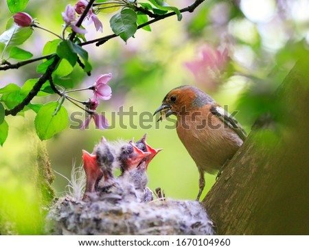 Photo of  songbird male Finch feeds its hungry Chicks in a nest in a spring blooming garden