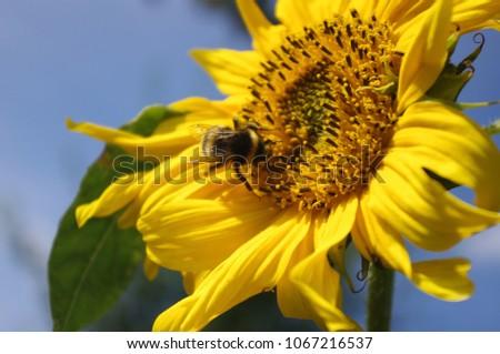 Sonnenblume, Blume, Sunflower, Pflanze, Natur, yellow, gelb, flower, Hummel, Biene