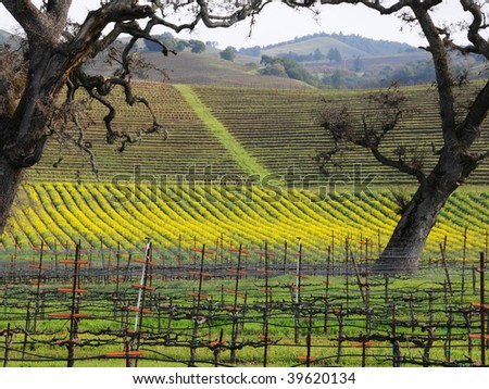 Sonoma Vineyard with Mustard Plants