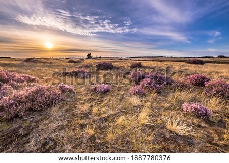 Soothing landscape scenery of heathland in National park Hoge Veluwe, Gelderland Province, the Netherlands. Landscape scene of nature in Europe. Photo stock ©