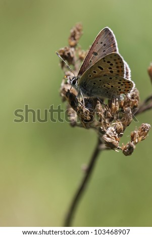 Sooty Copper butterfly, Lycaena tityrus