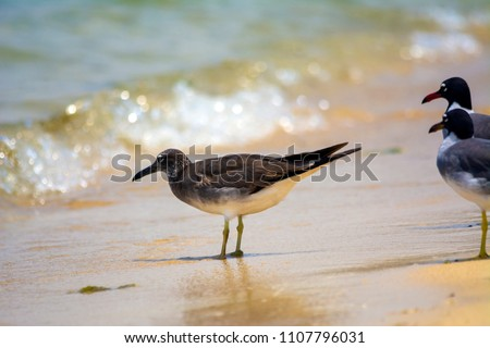 Sooty gull and white eyed gulls on redsea shore in Jeddah, Saudi arabia #1107796031