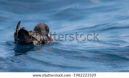 Sooty Shearwater feeding on a Octopus Foto stock ©