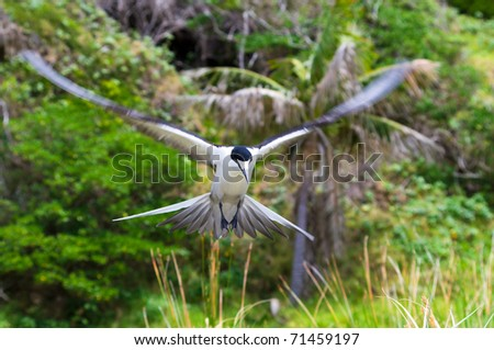 Sooty Tern (Sterna fuscata) at colony on Ned's Beach on Lord Howe Island, Australia
