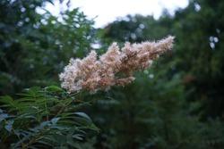 Sorbaria sorbifolia, the false spiraea, false goat's beard, sorb-leaved schizonotus, Ural false spirea, is a species of flowering plant in the family Rosaceae. Berlin, Germany