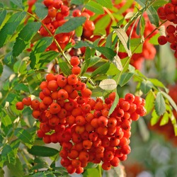 Sorbus aucuparia ashberry rowan tree mountain ash sorb service shrub red ripe fruits leaves vertical sunny rowanberry macro closeup quick beam natural rowan-berry scarlet pomes quickbeam berry branch