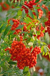 Sorbus aucuparia ashberry rowan tree mountain ash sorb service shrub red ripe fruits leaves vertical sunny rowanberry closeup macro quick beam natural rowan-berry scarlet pomes quickbeam berry branch