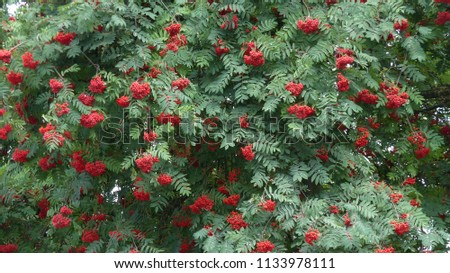 Sorbus aucuparia, commonly called rowan and mountain-ash, is a species of deciduous tree or shrub in the rose family. #1133978111