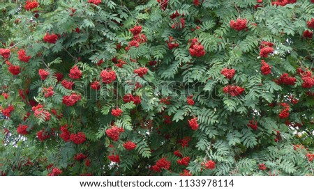 Sorbus aucuparia, commonly called rowan and mountain-ash, is a species of deciduous tree or shrub in the rose family. #1133978114