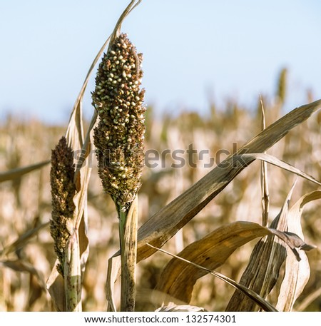 Sorghum ear on a field closeup. Agricultural landscape with harvest of sorghum cereal - grass family for the biofuel and fodder plants. Grain sorghum crop, cultivated in Africa and Asia.
