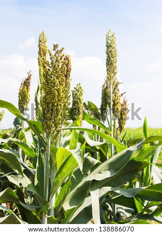 Sorghum or Millet field with blue sky background