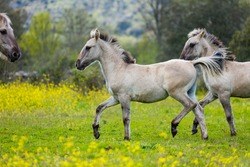 Sorraia Horses in the Middle Coa Valley in northern Portugal of Europe