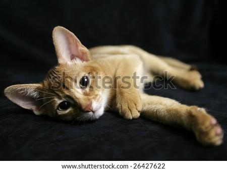 Sorrel Abyssinian kitten