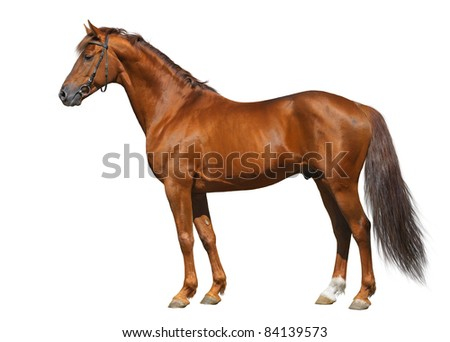 Sorrel Don horse isolated on white.