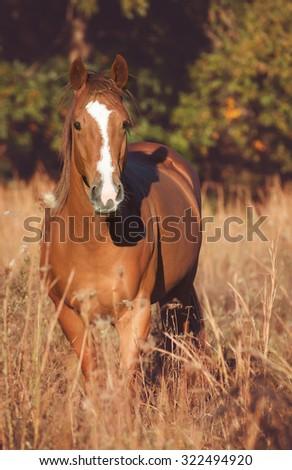 Sorrel horse looking at camera