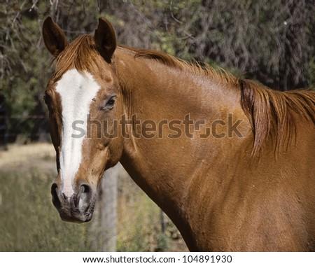 Sorrel Quarter Horse Gelding in Pasture