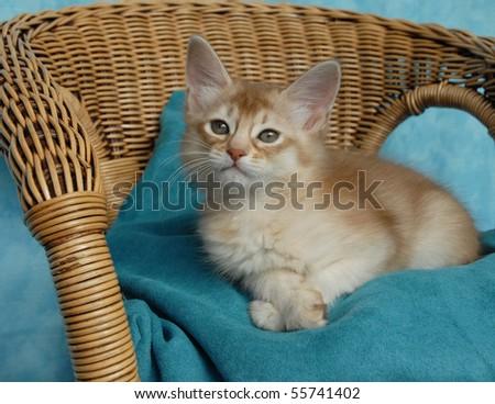 sorrel silver somali kitten on a wicker chair