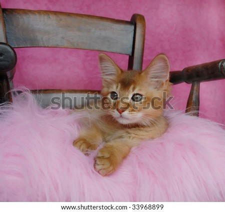 sorrel somali kitten on a pink cushion