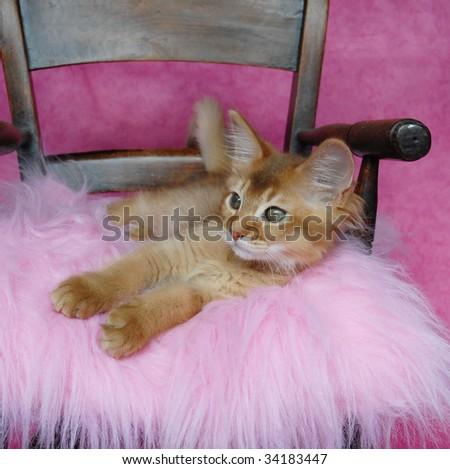 sorrel somali kitten relaxing on a pink cushion