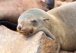 Soth African fur seal (Arctocephalus pusillus), eared seal (Otariidae), sleeping, Cape Cross, Namibia