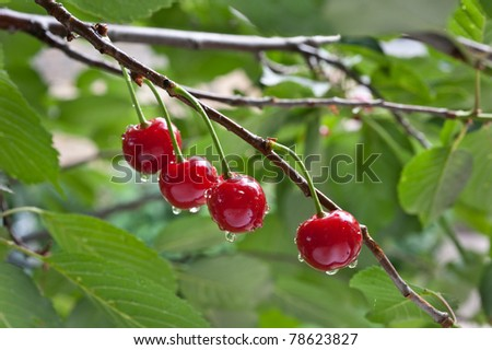 sour cherry on a tree in the orchard