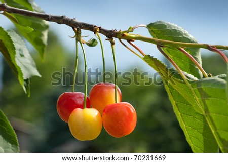 Sour Cherry on the Tree
