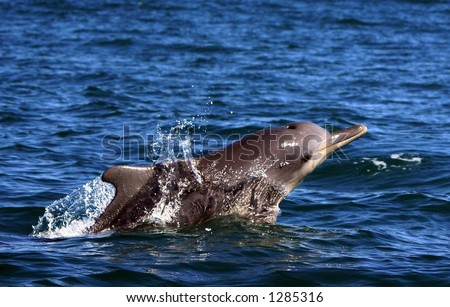 Sousa Chinensis (Humpback Dolphin) surfacing in South Africa