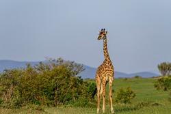 South Africa giraffe or Cape giraffe (Giraffa Camelopardalis giraffa). North West Province. South Africa